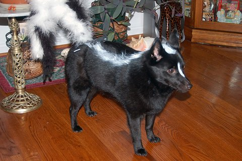 Diy dog halloween costumes romp italian greyhound rescue skunk dog costume diy dog costumes solutioingenieria Choice Image
