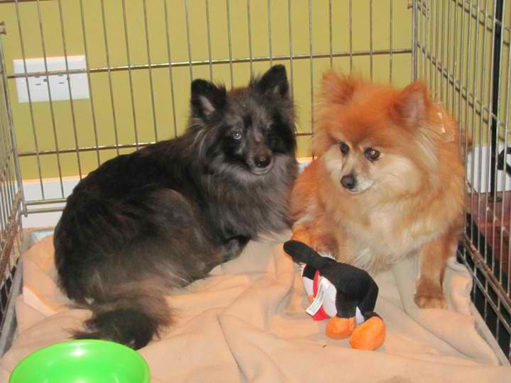 Pomeranians rescue, black Pomeranian rescue, red pomeranian, red pomeranian rescue, Pomeranian transport, transport Pomeranians