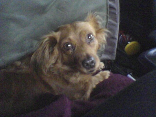 Dog Transport Rescue, cocker spaniel rescue, cocker spaniel transport, chicago cocker spaniel, cocker spaniel chicago