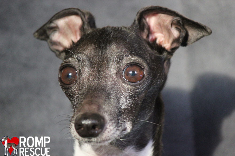 Chicago italian greyhound rescue
