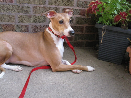 chicago Italian greyhound for adoption, Italian Greyhound Christmas Gifts
