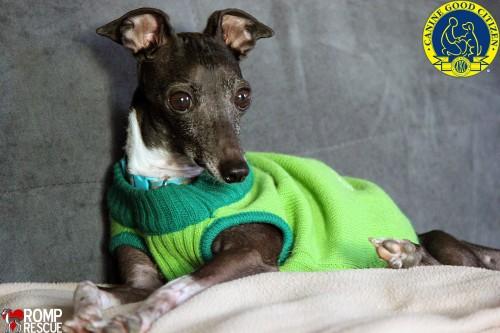 Canine Good Citizen Test, CGC, CGC test, CGC Chicago, CGC Italian Greyhound, Italian Greyhound CGC, caninie good citizen test
