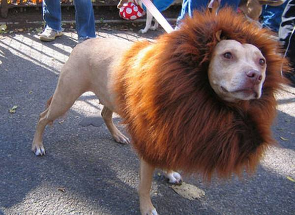 dog halloween costume DIY, lion