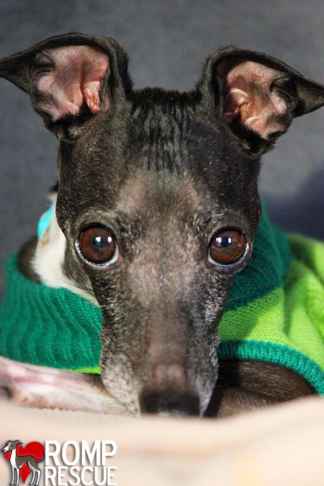 italian greyhound rescue, DOG RESCUE VOLUNTEER