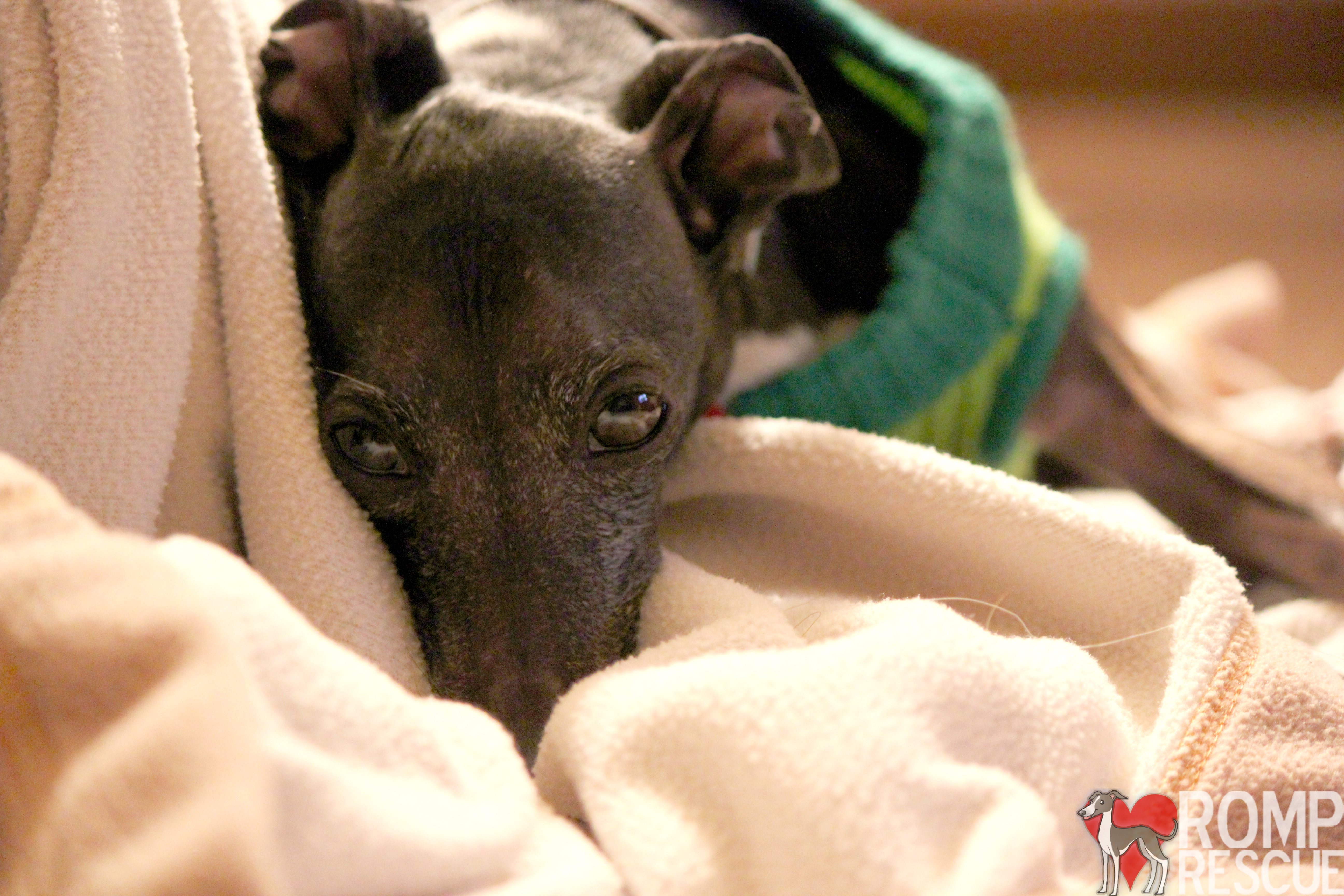 italian greyhound emotional