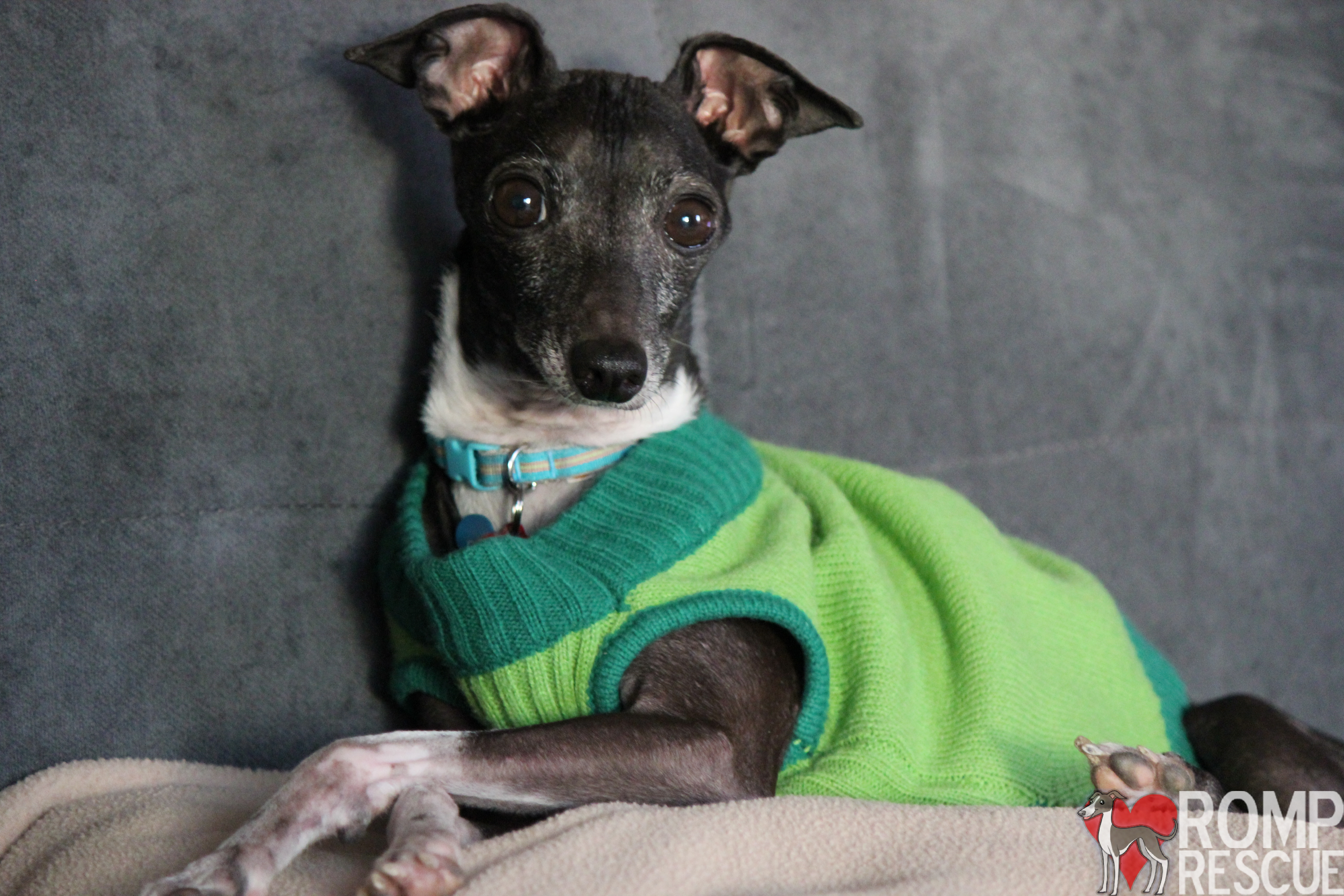 adopting an Italian Greyhound, italian greyhound, romp rescue, italian greyhound rescue, italian greyhound, italian greyhound cons, cons italian greyhound, bad, breed, rescue, chicago, chicago italian greyhound