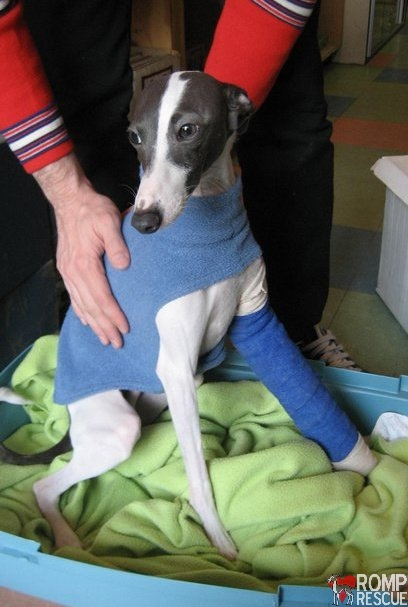 italian greyhound broken leg