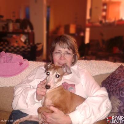 Italian Greyhound rescue, Indiana Italian greyhound, adopt italian greyhound indiana, italian greyhound, indiana, iggy, ig, adopt, rescue, adoption, indiana italian greyhound rescue, italian greyhound rescue, greta, tan, adoption day, forever home