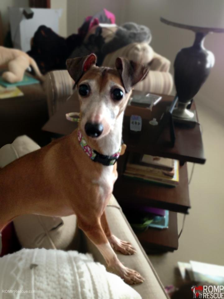 Indiana Italian greyhound, adopt italian greyhound indiana, italian greyhound, indiana, iggy, ig, adopt, rescue, adoption, indiana italian greyhound rescue,greta, tan, adoption day, forever home