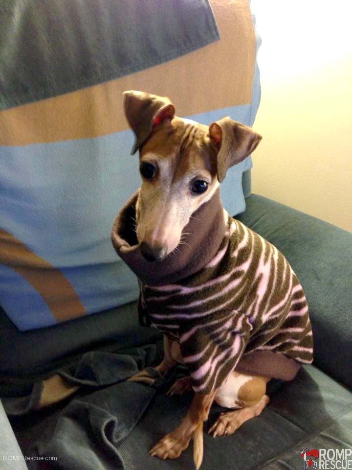 Italian Greyhound Rescue Greta Was Adopted Romp Ig