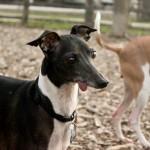 Italian greyhound meet up group