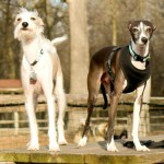 Chicago Italian Greyhound play group