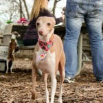 Schaumburg italian greyhound play date