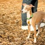 Chicago Italian Greyhound play date