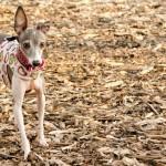 Illinois Italian Greyhound meet up