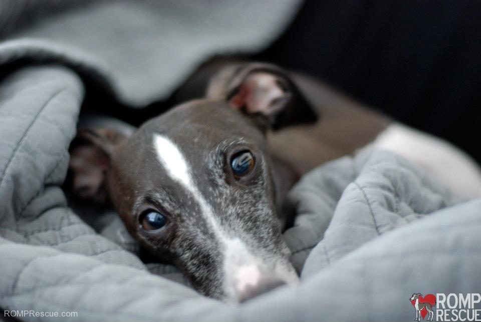 Harvey - Chicago Italian Greyhound Available for Adoption ...