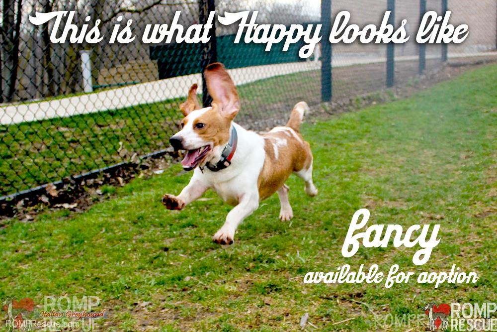 Fancy, basset hound, bassethound rescue, basset hound for adoption, chicago, illinois