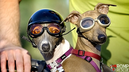 Doggie Sunglasses Goggles  dog sunglasses archives romp italian greyhound rescue chicago