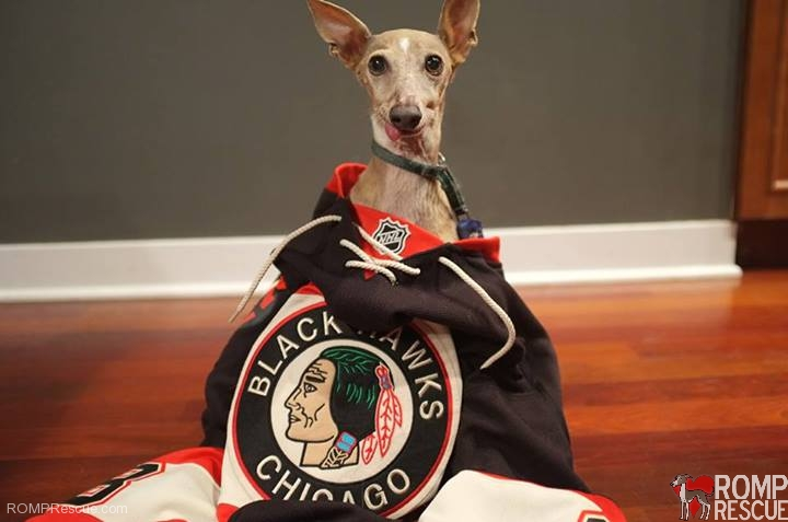 jersey, blackhawks dogs, chicago, italian greyhound, iggy, ig, hockey, nhl, stanley cup, chicago blackhawks dogs
