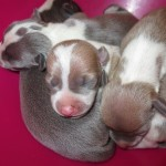 Italian greyhound puppies, chicago, chicago italian greyhound, chicago italian greyhound adoption, chicago italian greyhound rescue, chicago italian greyhound puppies