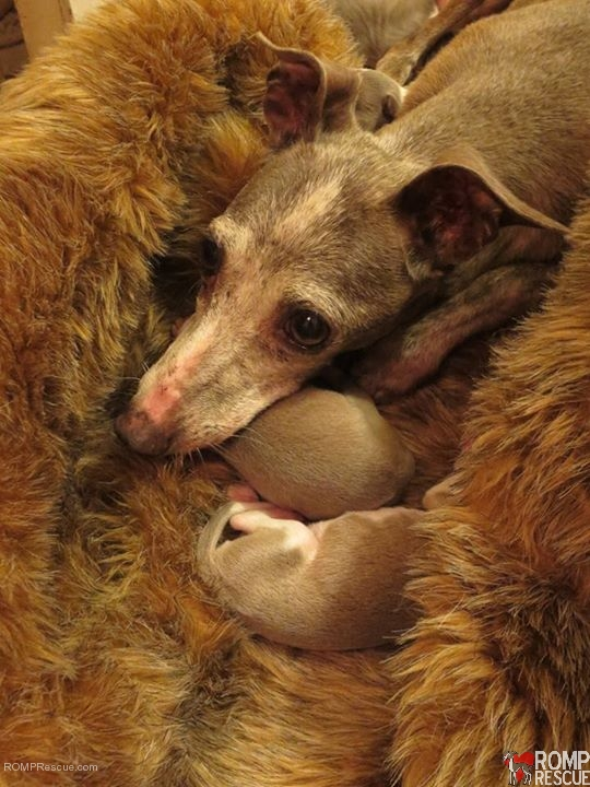 Italian greyhound, italian greyhounds, chicago italian greyhound, chicago mill rescue, chicago mill dog rescue, chicago dog rescue, chicago rescue, chicago iggy, chicago ig, chicago itlaian greyhound rescue, italian greyhound rescue, kai, saved from a mill, puppy mills, puppy mill rescue
