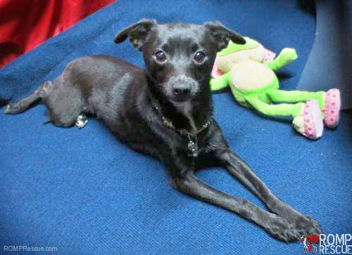 Chicago Italian Greyhound Mix, italian greyhound rescue, italian greyhounds, italian greyhound mix, italian greyhound puppy, small dog rescue, chicago italian greyhound rescue, chicago small dog rescue, chicago, dog rescue, small dog rescue, sweetie, black dog,  black puppy, female, female dog, female puppy