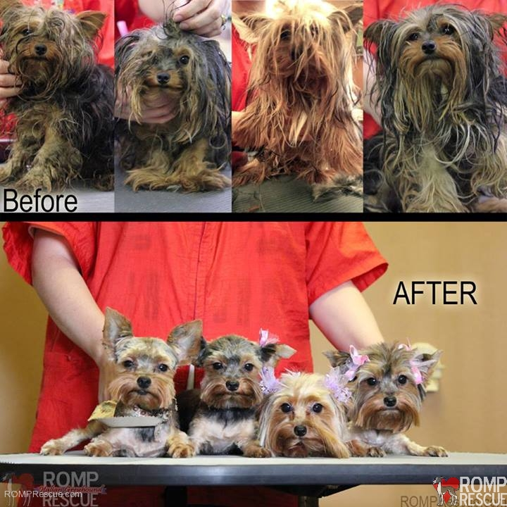 rescued Chicago Yorkie puppies, Chicago yorkie puppies rescued, chicago yorkie rescue, chicago yorkie puppies, yorkie puppies, chicago yorkie rescue, chicago, yorkie groomer, indiana groomer, love my pet, indiana love my pet,