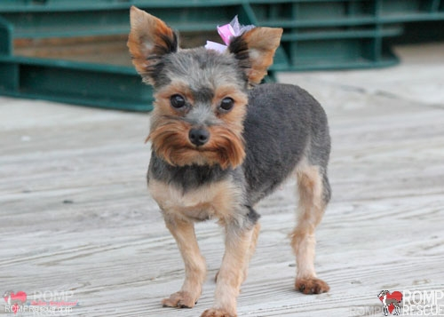 Adopt a yorkie near you