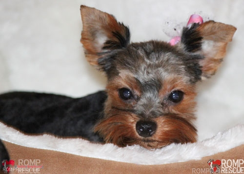 Chicago Yorkie Puppy Rescue Romp Italian Greyhound Rescue