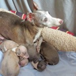Italian greyhound puppy, chicago italian greyhound, chicago itailan greyhound puppy, italian greyhound puppies, italian greyhounds, chicago italian greyhounds, italian greyhound shelter, itailan greyhound rescue, chicago italian greyhound rescue, adopt, adoption