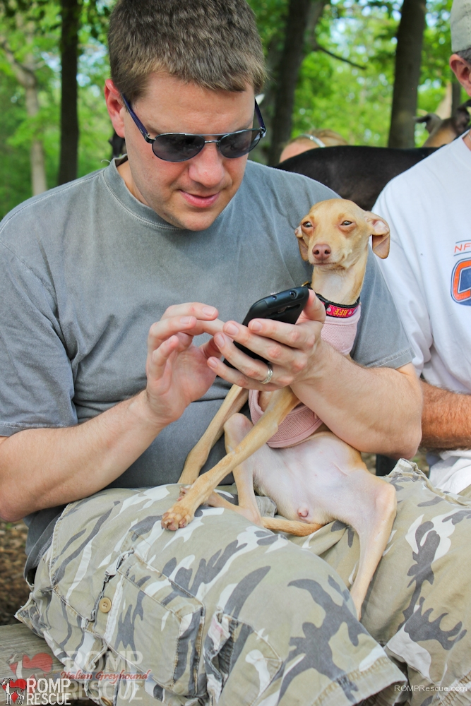 capri, italian greyhound, rescue, chicago, rainbow bridge, illinois