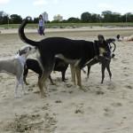 Chicago Dog Beach Play Date, Montrose Dog Beach