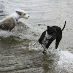 Chicago dog beach, montrose dog beach, chicago dog play date, chicago dog meetup, italian greyhounds, itlalian greyhound rescue, ROMP Rescue, Italian greyhound beach, beach italian greyhound