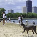 Chicago dog beach, montrose dog beach, chicago dog play date, chicago dog meetup, italian greyhounds, itlalian greyhound rescue, ROMP Rescue