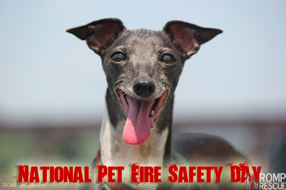 national pet fire safety day, fire, italian greyhound, safety, tips, what to do, you should know, family, prepare, preparedness, prep, stats, dog causes fire, dogs cause fire