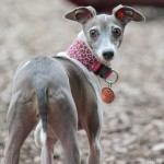 Italian Greyhound, chicago italian greyhound, italian greyhound meetup, italian greyhound play date, italian greyhound playdate, free, wood dale, schaumburg, tinley, dog park,