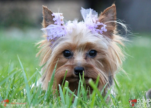 Chicago Yorkies for Adoption, chicago, yorkie, yorkies, female, silver, tan, adopt, adoption, small, tiny, teacup, tea cup, illinois, rescue, yorkie rescue, chicago yorkie rescue, chicago yorkie adoption, romp rescue, surrender, backyard breeder
