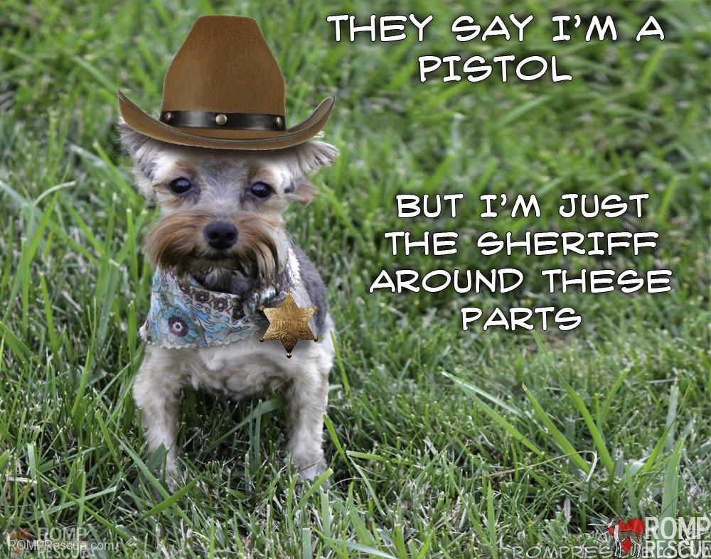 yorkie puppy, yorkshire terrier, chicago yorkie, chicago yorkie rescue, chicago yorkshire terrier, chicago yorkie puppy, male, chicago, rescue, dog, dogs, puppy, puppies, adopt, adoption, adoptable, shelter