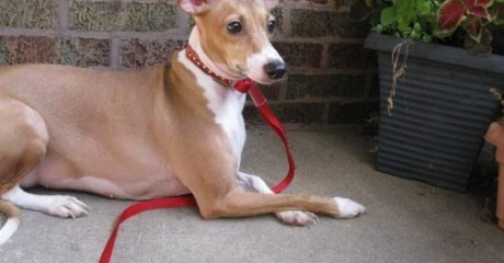Ig Archives Romp Italian Greyhound Rescue Chicagoromp