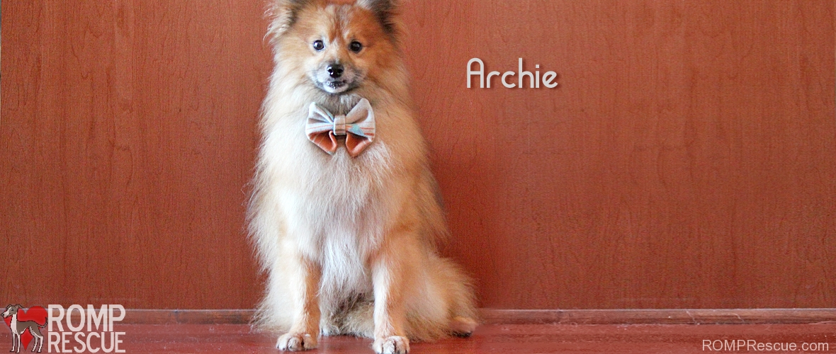 chicago pomeranian rescue, pomeranian rescue, pomeranian, romp rescue, chicago, dog, dogs, pup, pet, pups, dog, dogs, adoption, available, shelter, male