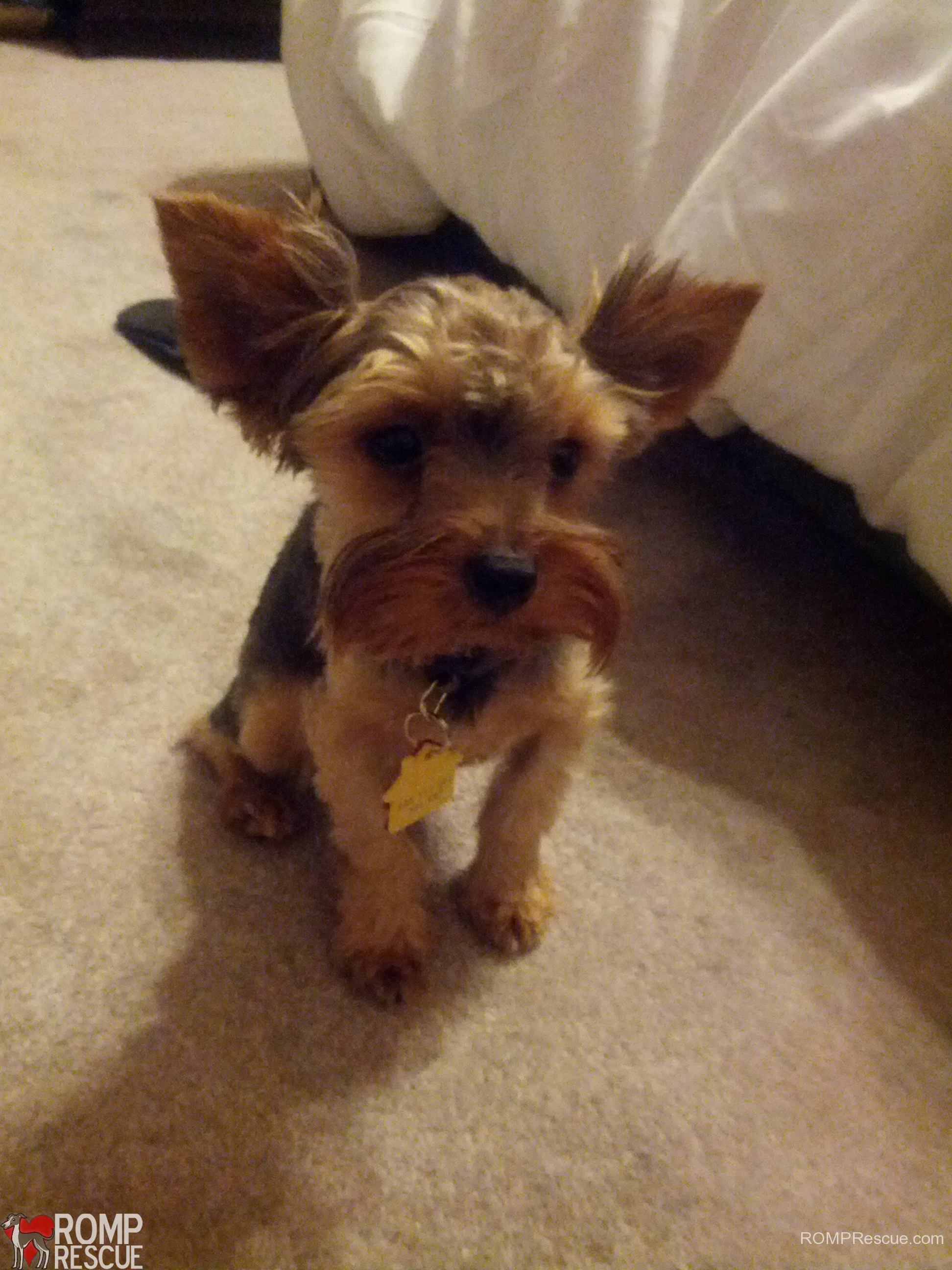 Chicago Yorkie Adoption Oliver Romp Italian Greyhound Rescue