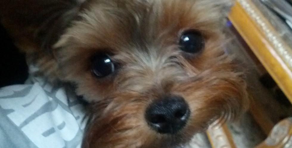 Chicago Yorkie Adoption Oliver Romp Italian Greyhound Rescue