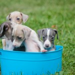 Chicago Italian greyhound puppies, italian greyhound puppies, italian greyhound puppy, italian greyhound puppy chicago, chicago italian greyhound puppy, chicago, illinois, rescue, adoption, shelter, breeder, young, available, il, iggies, ig puppies, italian greyhounds, italian greyhound, baby, babies, small, tiny, fawn, blue, romp rescue