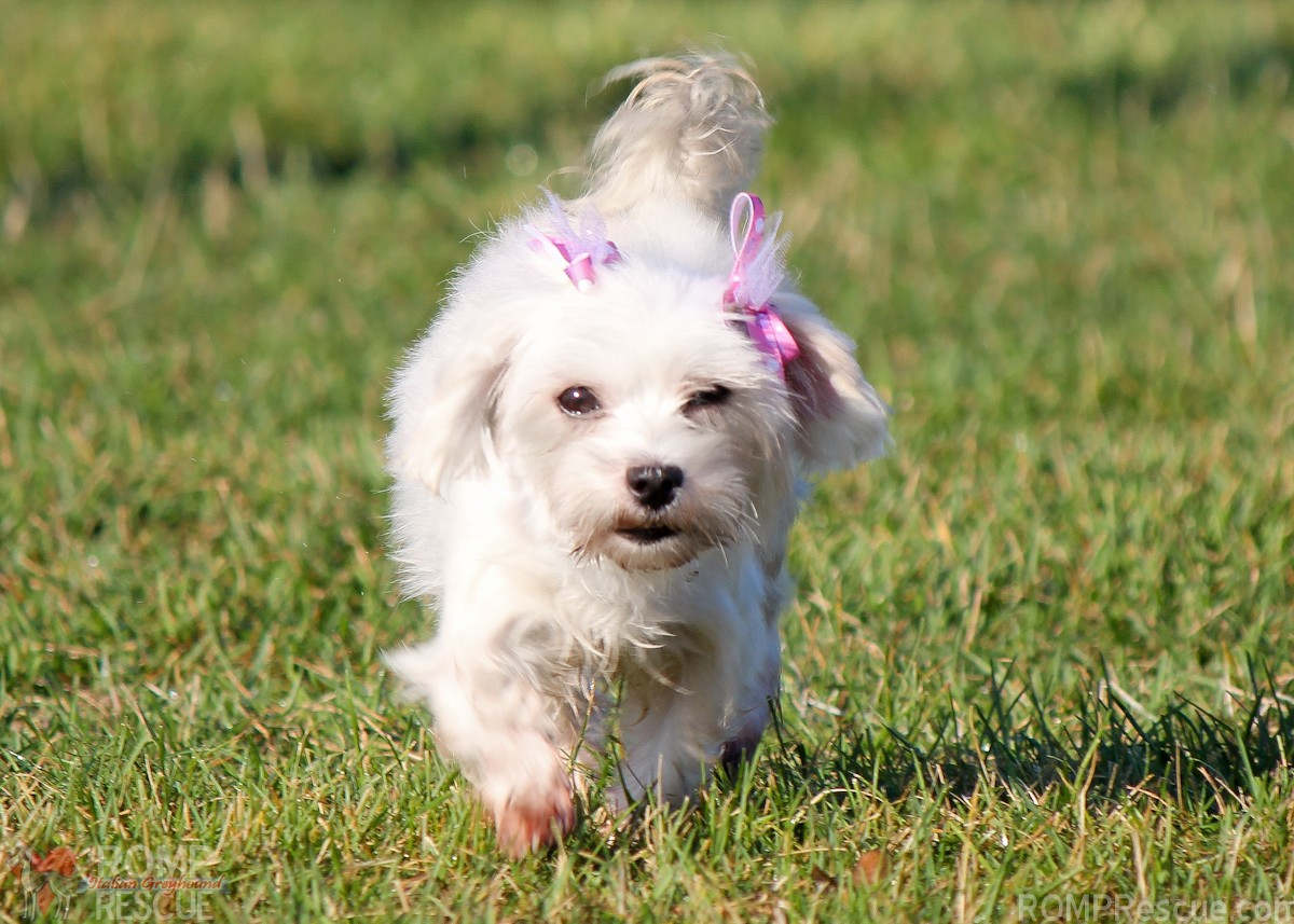 Want to Adopt a Maltese in Chicago, chicago maltese rescue, adopt a maltese, shelter, maltese, chicago, rescue, adoption, rescued, find, pet, dog, dogs, pets, white, adult, female