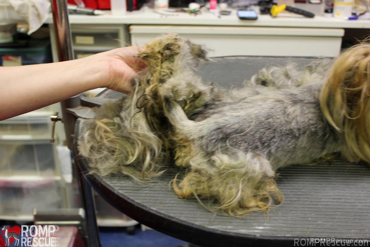 backyard breeder rescues romp italian greyhound rescue