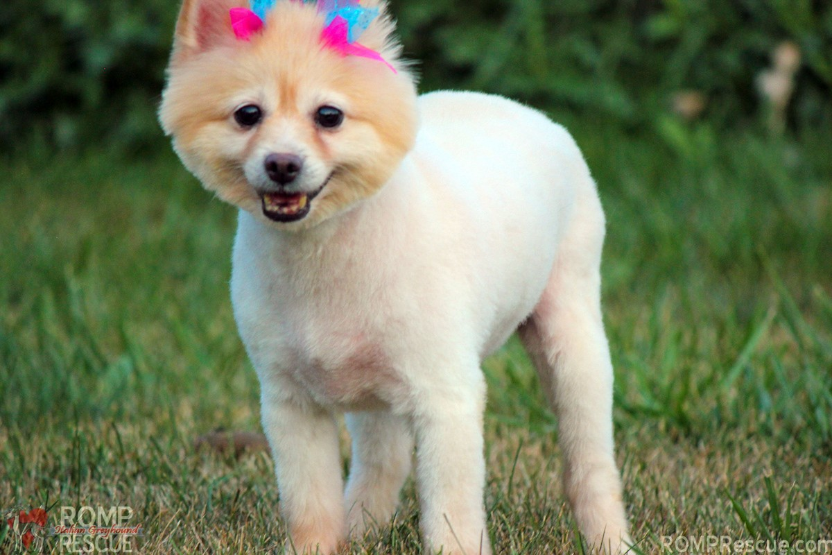 Chicago pomeranian rescue, chicago pomeranian, pomeranian, chicago, rescue, adopt, adoption, shelter, female, pom