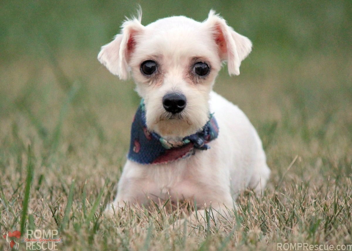 Tiny Dogs For Adoption In Michigan
