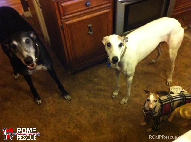 Italian greyhound, greyhound, family, indiana, rescue