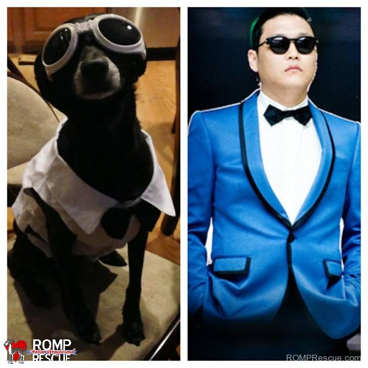 italian greyhound doppelganger, giraffe, italian greyhound, italian, greyhound, funny, cute, hilarious, lookalike, look a like, looks like, psy, gangam style