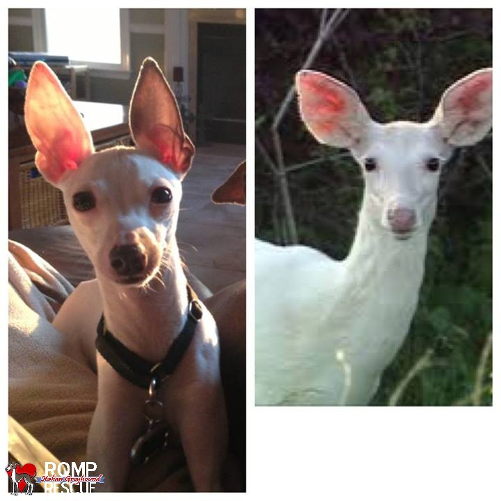 italian greyhound doppelganger, giraffe, italian greyhound, italian, greyhound, funny, cute, hilarious, lookalike, look a like, looks like, deer